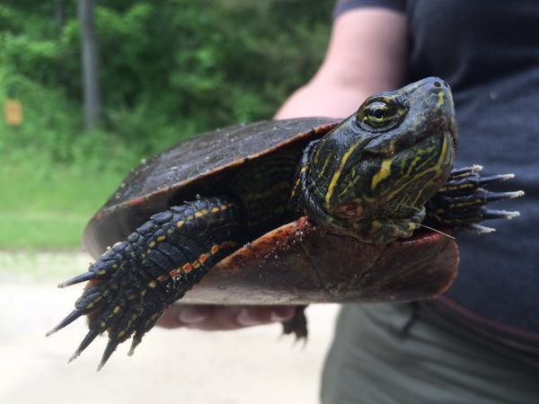 Reminder to watch for female turtles crossing roads to nest. #Brake4Wildlife  http://t.co/i9F8JBYWRL http://t.co/OK02XkGiZV