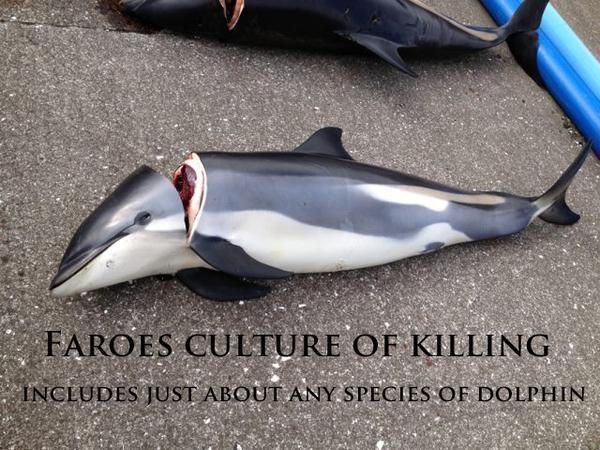 In case you thought it was ONLY pilot whales massacred on #FaroeIslands they kill anything that swims  https://t.co/0VPbevwjVn #OpKillingBay