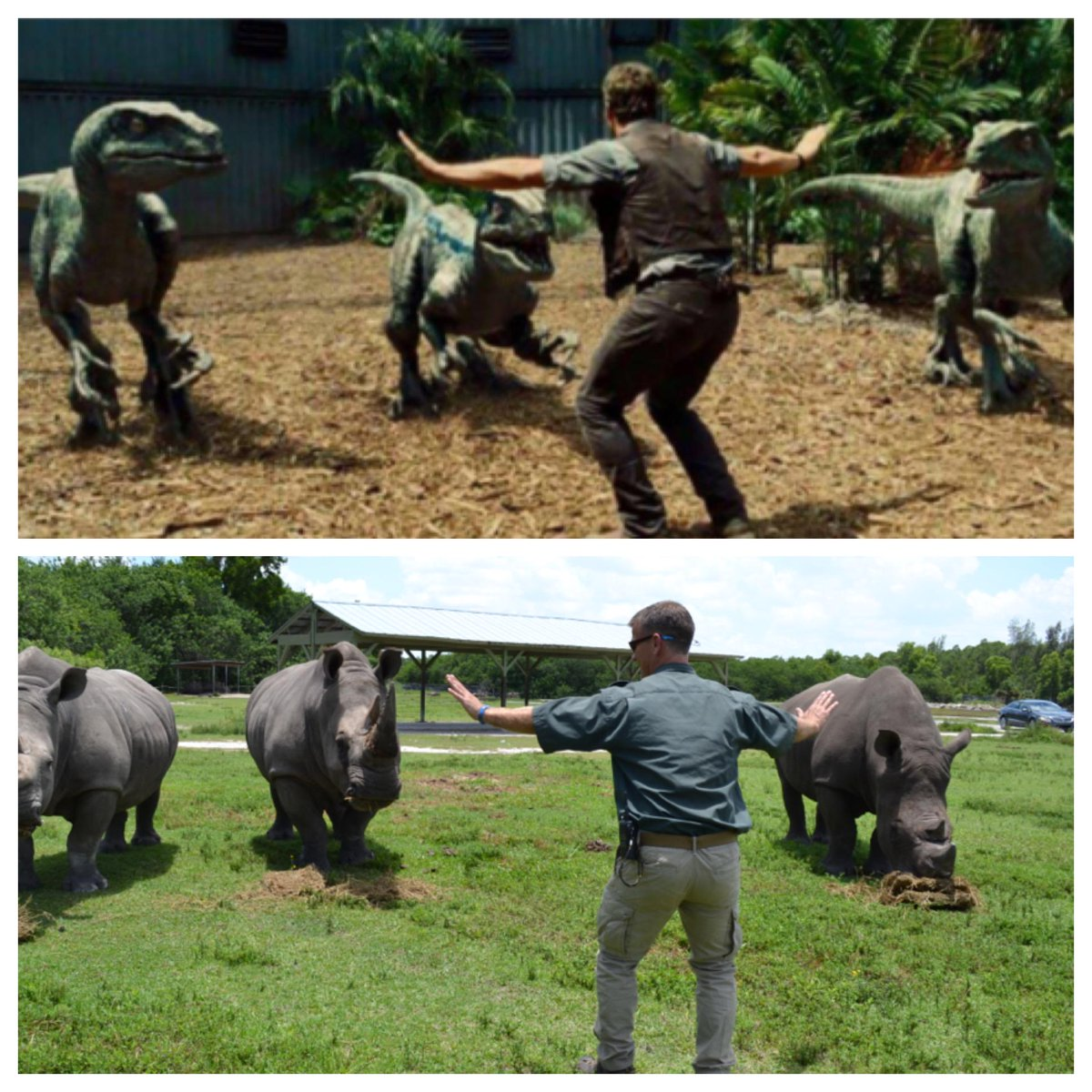 We are recreating Chris Pratt's raptor control from #JurassicWorld - with our Southern White Rhinos! http://t.co/ntnm1UsibJ