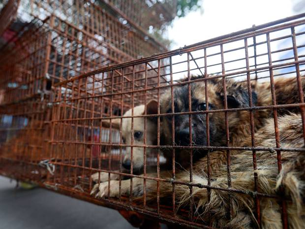 Chinese, not int. social media pressures the Yulin dog meat festival. My @Independent feature http://t.co/ZDQXM4DAmh http://t.co/HB5XKSQlj2