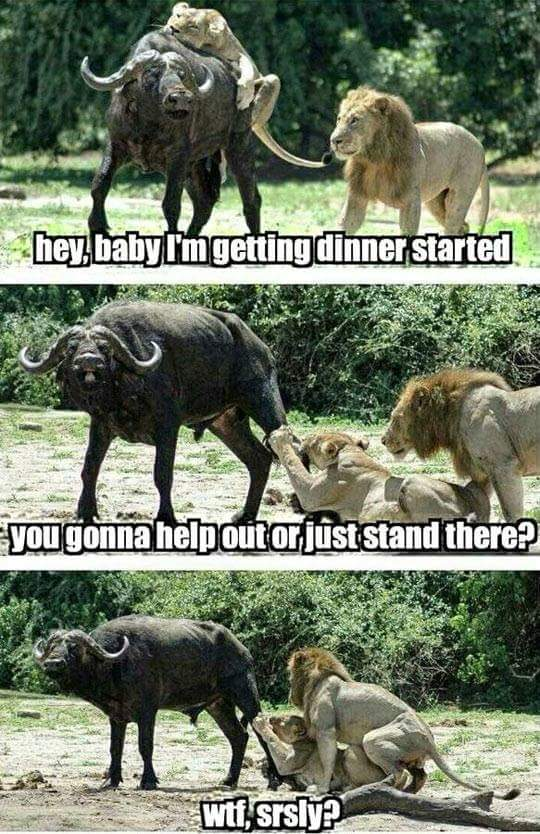 lol too funny! #memes #funny #Lion #Lionesses http://t.co/ottnyAbRI7