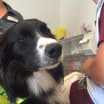 Therapiehund Nox vom Klinikum #Braunschweig. Am Sonntag 18.15 Uhr bei @AntenneNds http://t.co/o6UC8sRQtE