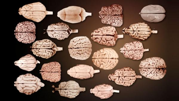 Cortical folding in all species follows the same laws that explain the crumpling of paper http://t.co/TFBGoBqUtl http://t.co/ifMqUTBknn