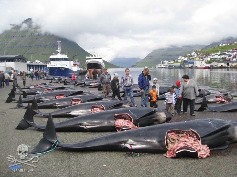 #SeaShepherd #pilotwhales #FaroeIslands #OpSleppidGrindini http://t.co/SuJsNEp39X