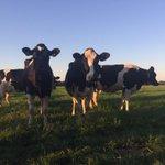 Vanwege de hitte zijn deze koeien s nachts buiten en s ochtends gaan ze weer op stal. @RTV_Rijnmond http://t.co/3EvPmAIxs7
