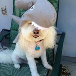 @mitchweber Dont worry. My shark is worse than my bite. Happy #woofoutwednesday! http://t.co/XZYU8GdSrs