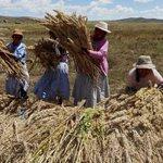 Precio de la #quinua cae a S/. 4 por kilo en chacra, pero en mercados supera los S/. 14 http://t.co/0IXPZ0kjkn http://t.co/lOWDsPbZk3