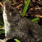 Una nueva especie en Granada: den la bienvenida al Neomys anomalus http://t.co/RGIb1OqHE2 http://t.co/swrCbwT2DC