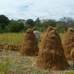 #PorSiNoLoViste Disminuye cultivo de arroz por falta de lluvias http://:http://t.co/f02xe4aZve #ProvinciasPA http://t.co/hJk7NsPpBF
