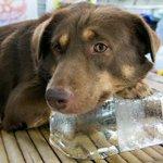 ТЕПЛОВОЙ И СОЛНЕЧНЫЙ УДАР У ЖИВОТНЫХ. Всем владельцам животных важно знать #лето #жара #собака http://t.co/HU0ezgQ6gG http://t.co/P0H0IBYpHm