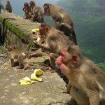RT @PetaIndia: Family of the kidnapped monkey enjoying bananas during her return. #monkeyrescue http://t.co/g2XzaDT1ep
