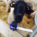Were following you @NorfolkPolice! Our #Ram is keeping an eye out in sheep tent for baaaad behaviour @norfolkshow http://t.co/r5Nr5N0vy7