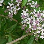 #Buongiorno con la profumatissima erba Cedrina, delizia olfattiva dellestate: http://t.co/78Kf1Sfroq #meditflora http://t.co/PG6noMPLXD