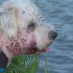 Couples dog shot in the face by unknown perpetrator http://t.co/4pQ9xiKeiI #RGV #AnimalAbuse #dogsoftwitter http://t.co/O0iBT5ZzS5
