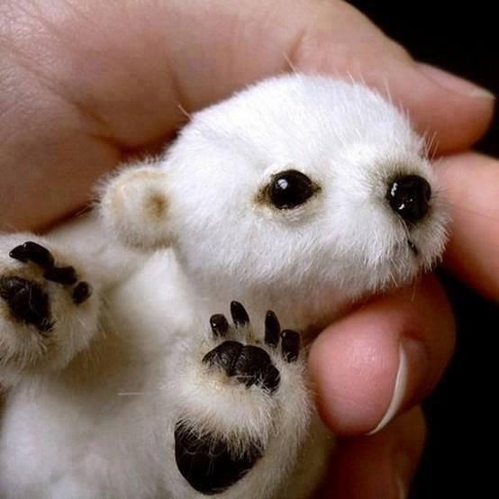 ホッキョクグマの赤ちゃんの可愛さ、臨界点越えてる。 http://t.co/tp4rAVpl4b