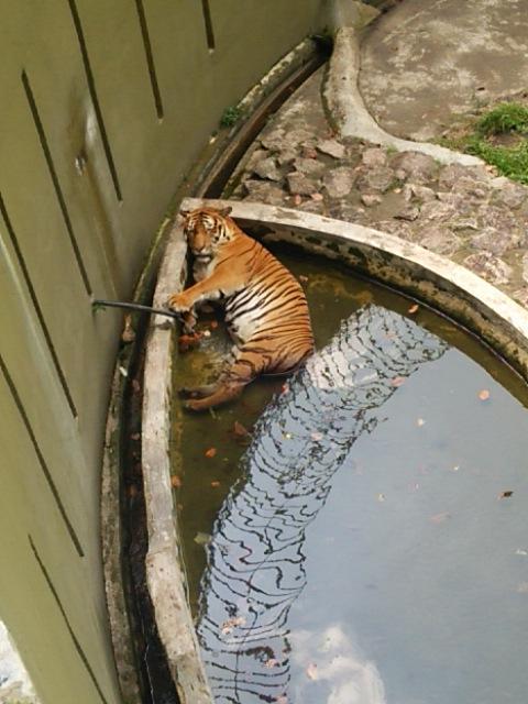 マレーシアの動物園での虎。 とても蒸し暑く。 わかる、わかるで。気持ちはわかる。 http://t.co/ALUmsj4TpE