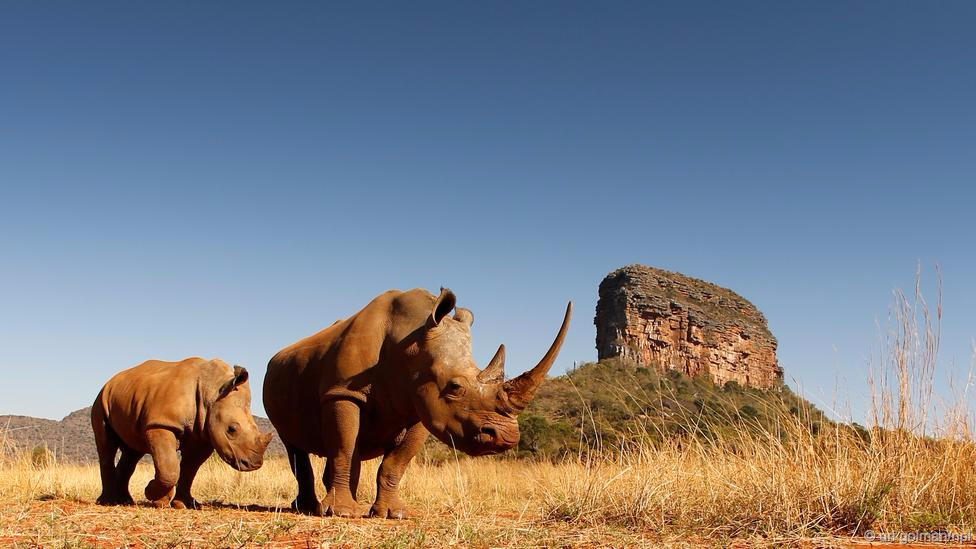 The Story of Rhinos + How they Conquered the World, via @BBC Earth: http://t.co/HsE59UbP81 http://t.co/yPkMVFZtAd