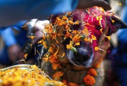 No Nepal eles têm um festival que honram o amor e amizade dos cães. Já quero aqui: http://t.co/Gzc5UcEE78