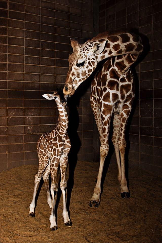 Cute alert! This baby giraffe was born Monday at @okczoo! Photos: Jaimee Flinchbaugh http://t.co/9ajMNTWIG4 http://t.co/uEspVaLiIn