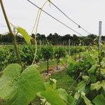 How we look today #vineyard #wine #Somerset #Bristol #PinotNoir http://t.co/ZT4mcGDCoK
