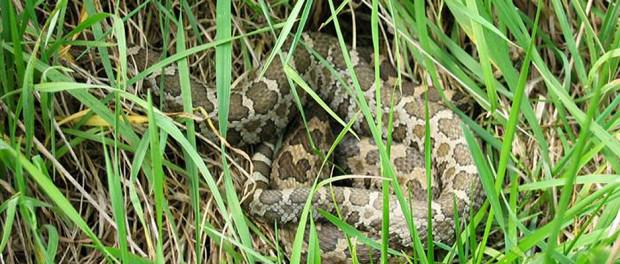 Resilient Fungus is Deadly Snake Killer http://t.co/LHzwdJfxnz #fungus #snakes http://t.co/oSYXQSiTXQ