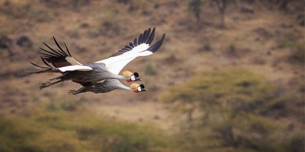 Crested Cranes in Flight at Ngorongoro Crater Tanzania http://t.co/FBN0TeLoxb http://t.co/Qfb7RTNwt9
