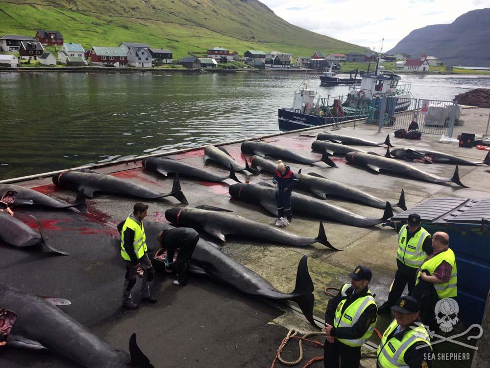 """#OUTRAGE in the Faroes! WARNING. GRAPHIC. CONTENT. This is THEIR """"tradition"""" HELP us, goto http://t.co/pXGKHHm1pA RT! http://t.co/nRm95Kfk7Y"""