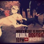 Indias worst bloodsport: Deadly Dogfights An @IndiaToday investigation tonight on the #NEWSROOM at 10 pm http://t.co/PaGO1zGuuR