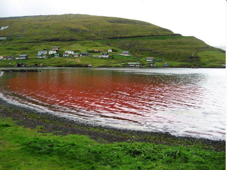 Waters of The #FaroeIslands Run Red With Another Horrific Grind 22 #whales slaughtered  #OpKillingBay https://t.co/UdLdPTQxJb