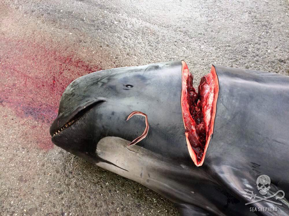 Shame on Denmark!!! This is cruel and unnecessary. It's is a blood sport. There is no sense in this. http://t.co/7oTL2jqxrl