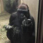 Chimpanzé faz gesto ofensivo para visitantes e vira alvo de polêmica novamente. http://t.co/UPze3AExBf http://t.co/qQVdcrN05d