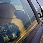 Politie waarschuwt: laat je hond niet achter in snikhete auto http://t.co/Zw2yVnu8h2 #hittegolf http://t.co/i6ED1aiXG5