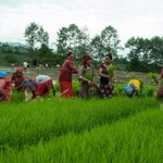 Happy Asar-15 or Dhaan Ropai Festvial! Rice is an essential crop for much of the world and #Nepal. @USAIDNepal http://t.co/GXKlzthypn