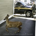 Wayward Southie deer finally caught by @MAEnviroPolice. Story and more photos @bostonherald #Boston #Animals http://t.co/atdd5uA2dz