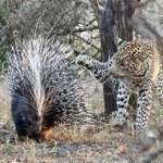 Leopardo pensa bem e desiste de comer porco-espinho. http://t.co/XTW73Mlt8a http://t.co/Vrhh28w2vz