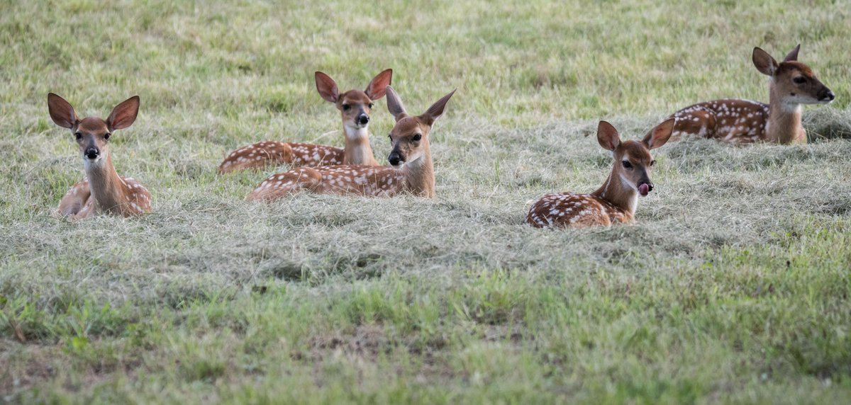 Five fawns like the cut grass from the am!!  Love taking nature photos. http://t.co/riQGv5umGz