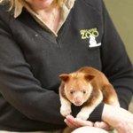 RT @BBCNewsAus: New surrogate mum for orphaned tree kangaroo: http://t.co/p1VvCdnVmN