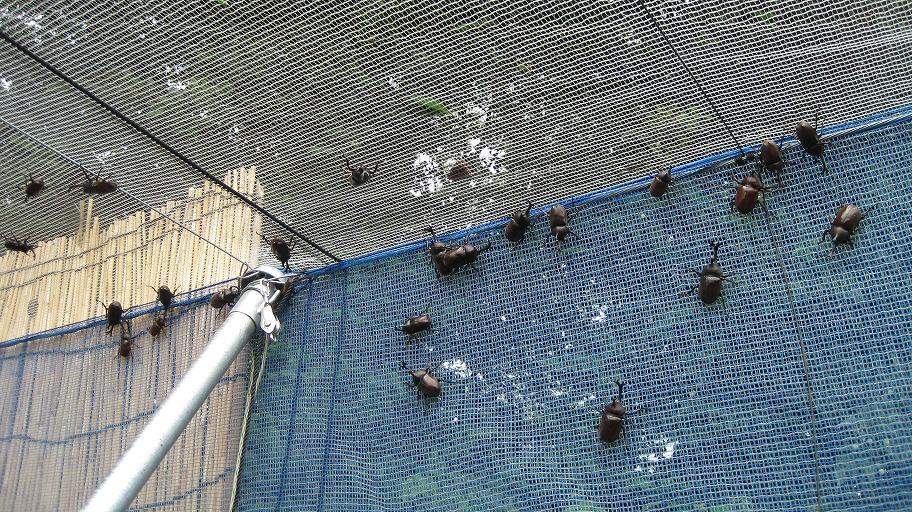 【悲報】ブルーベリー農園にカブトムシの大群が来週 完全にゴキブリだろこいつら