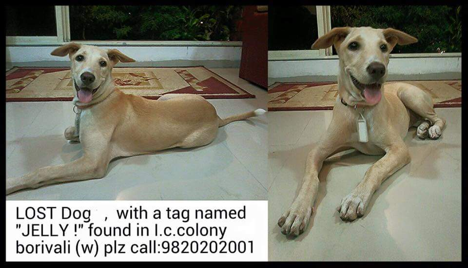 "#Lost Dog tagged ""Jelly"" found in Borivali (West) #Mumbai. If you know the owner please connect to the phone # please http://t.co/8tcAJy5FbF"