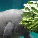 【!】マナティさん、泳いでいたら頭がレタスになっちゃった http://t.co/N0bQBbn6gb http://t.co/eLKNSICaIk