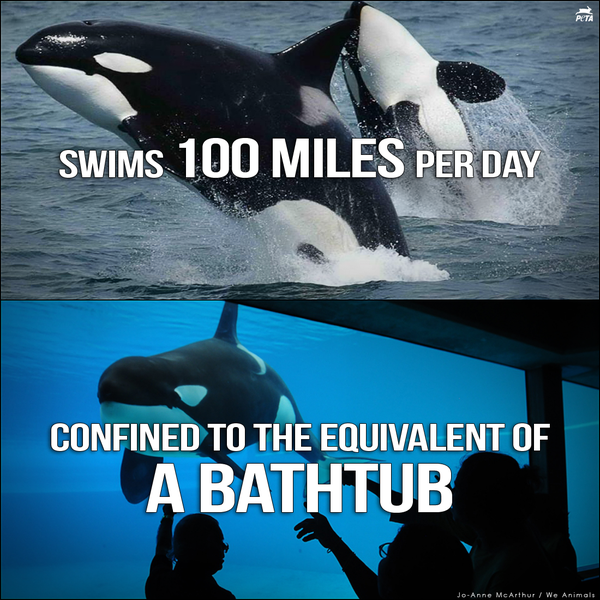Swimming 1200+ laps around a tank does not compare to swimming 100 mi/day in the ocean. #FreedomForAll #SeaWorldSucks http://t.co/yE7oq4WJcX