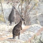 Eastern Grey Kangaroos on a frosty (-5 :) #Canberra morning. #WildOz http://t.co/d5n4BqPTuZ