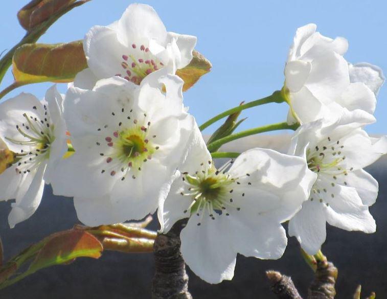 7月4日(土)「なし(74)の日」 素敵な妖精を生み出した船橋の梨に感謝 梨の花(バラ科なので同じバラ科のサクラの花と似ていますね)&感謝状贈呈式で市役所前についた妖精(2013年10月30日) http://t.co/XnWaz9jYZN