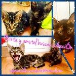 #Mixta y #Amstel buscan adopción. Tienen mes y medio. #SOS #gato #animales #adopta #madrid #leymordaza http://t.co/fgujru0jWd