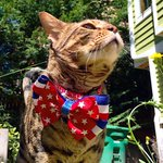 Happy #4thofJuly and #caturday ???????????? Im feeling a little Patriotic today! http://t.co/KF7E6R1enB