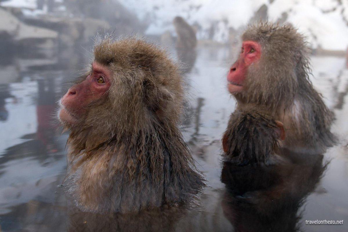 Japanese Bathing Snow Monkeys on my travelblog  http://t.co/hZXVlHYdYD  #japan #snowmonkeys #travel http://t.co/736xgV8F3g