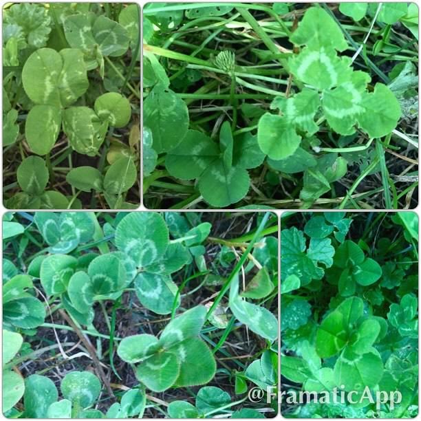 Today I found 9 lucky clovers while on my bike ride!
