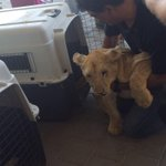 1/4LIVE: Per Gazans request, the #GazaCLA coordinated the transfer of lion cubs from #Gaza to #Jordan through #Israel http://t.co/IUQytjapML