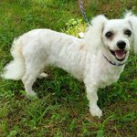 Pixie is a 6 yo 15 lb #Poodle and needs a #foster to come to #nyc 7-11 #sweetheart http://t.co/Y7v4a2ZHRy http://t.co/v6yl2Vnmqi