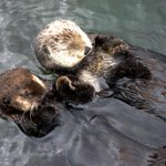 Tune in for our final #FIFAWWC Periscope broadcast at 4:45! Well be meeting @Vanaquas famous love otters! http://t.co/JaZXnDbSxD